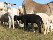 Zwarte schapen in het midden van de troep van schapen Royalty-vrije Stock Foto