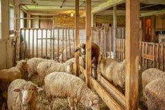 Zwarte schapen onder Wit Stock Afbeeldingen