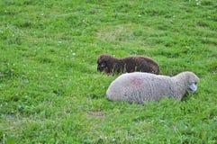 Zwarte schapen witte schapen Stock Afbeelding