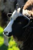Zwarte schapenclose-up Royalty-vrije Stock Foto