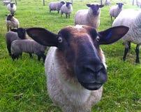 Zwarte schapengezicht Stock Fotografie