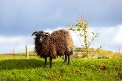 Zwarte schapenram stock fotografie