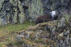 Zwarte schapenzitting op rotsen op een heuvel in het Meerdistrict stock foto's