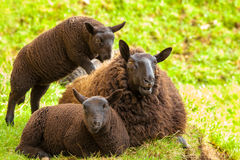 Zwarte Sheeps-Familie royalty-vrije stock fotografie