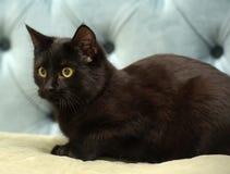 Zwarte shorthairkat met gele ogen stock foto