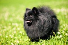 Zwarte shpitz op groen gras in de zomerpark Stock Foto's