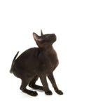 Zwarte Siamese kat Stock Fotografie