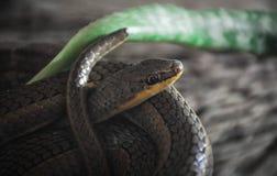 Zwarte slang die rond zich verdraaien royalty-vrije stock afbeeldingen