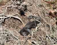 Zwarte slang in moeras royalty-vrije stock afbeeldingen