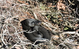 Zwarte slang in moeras stock foto