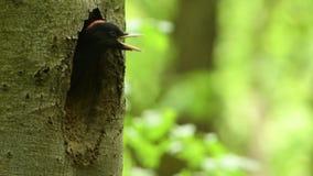 Zwarte specht - Dryocopus-martius stock videobeelden