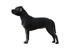 Zwarte Staffordshire Bull terrier geïsoleerde tribune royalty-vrije stock foto's