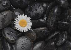 Zwarte stenen en een madeliefje Stock Afbeeldingen