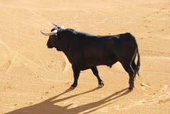 Zwarte stier in de arena Stock Foto's