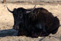 Zwarte stier die in zand liggen Royalty-vrije Stock Foto