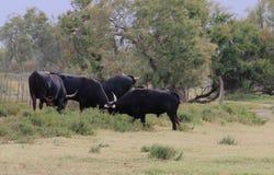 Zwarte stieren in Franse Camargue Royalty-vrije Stock Foto's