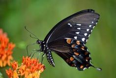 Zwarte Swallowtail royalty-vrije stock foto's