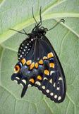 Zwarte Swallowtail Stock Foto's