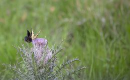 Zwarte swallowtail en oostelijke tijger swallowtail vlinders royalty-vrije stock fotografie
