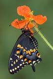 Zwarte swallowtail op papaver Royalty-vrije Stock Foto's