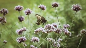 Zwarte Swallowtail-Vlinder stock foto