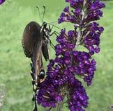 Zwarte Swallowtail-vlinder bij de purpere bloei royalty-vrije stock fotografie