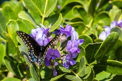 Zwarte Swallowtail-Vlinder die op Texas Wildflowers rusten stock foto's