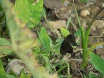 Zwarte Swallowtail-vlinder in Khaoyai, natuurreservaat, Thailand stock fotografie