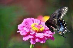 Zwarte swallowtailvlinder in motie Royalty-vrije Stock Afbeelding
