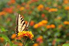 Zwarte swallowtailvlinder op lantanabloemen Stock Foto