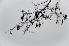 Zwarte tak van een witte acacia Royalty-vrije Stock Fotografie