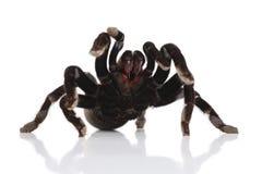 Zwarte tarantula stock fotografie