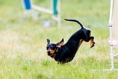 Zwarte tekkel - worsthond die op behendigheid opleidingsyard springen royalty-vrije stock foto's