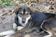 Zwarte Thaise hond Stock Fotografie