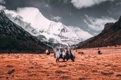 Zwarte tibetan yaks in een weiland bij sneeuwbergen met donkere wolkenachtergrond Stock Fotografie