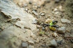 Zwarte Timmerman Ants Eating stock afbeeldingen