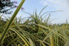 Zwarte trawy zdjęcie royalty free
