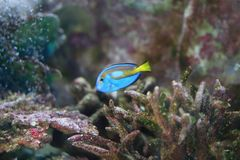 Zwarte triggerfish royalty-vrije stock afbeelding