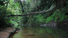 Zwarte tropische rivier of stroom met een weelderige groene vegation en een grote gevallen boom stock video