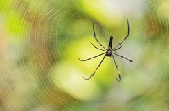Zwarte tropische spin Stock Foto's
