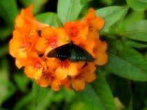 Zwarte tropische vlinder die op oranje bloem nectar eten Macroinsectachtergrond Royalty-vrije Stock Foto