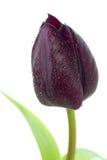 Zwarte tulp Royalty-vrije Stock Foto's