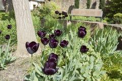 Zwarte tulp Royalty-vrije Stock Afbeelding