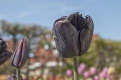 Zwarte Tulp, een nog niet gecultiveerde zwarte genaderde variatie van de tulp, een weinig zoals in deze foto door de tulpenspecif royalty-vrije stock foto's