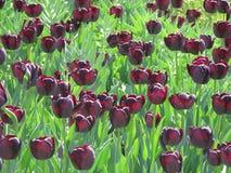 Zwarte tulpen royalty-vrije stock afbeelding
