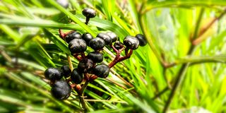 Zwarte tweelingenbes in het bos stock afbeelding