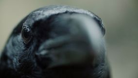 Zwarte van de raafogen en bek macro Kraai die recht in camera kijken stock video