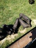Zwarte varkens met pigies Stock Foto