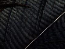 Zwarte veer Stock Foto's