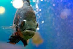 Zwarte vissen Stock Foto's